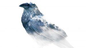 Snow Bird Raven