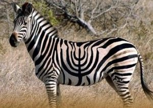 A zebra with a menorah shaped series of stripes.