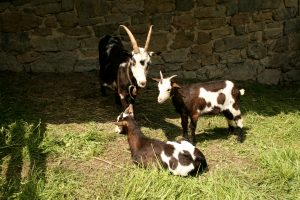 Speckled Goats